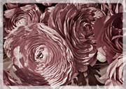 Decorative Floral Acrylic Prints - Antique pink ranunculus Acrylic Print by Joan Carroll