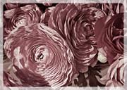 Antique Pink Ranunculus Print by Joan Carroll