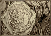 Decorative Floral Acrylic Prints - Antique Ranunculus Acrylic Print by Joan Carroll