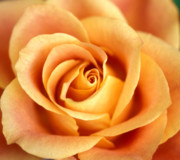 Orange Roses Posters - Antique Rose Poster by Kathy Yates