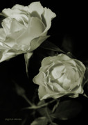 Ivory Roses Posters - Antique Roses Poster by DigiArt Diaries by Vicky Browning