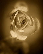 Black And White Prints Prints - Antique Soft Rose Print by M K  Miller