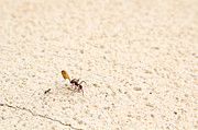 Anthill Prints - Ants Print by Isabel Poulin