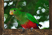 Red And Green Photo Metal Prints - Anyone Home... King Parrot - Female Metal Print by Kaye Menner