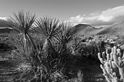 Desert Plants Photos - Anza-Borrego Yuccas by Peter Tellone