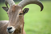 Africa-north Photos - Aoudad by Karol  Livote