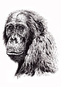 Humanlike Prints - Ape  Print by Debbie Jew