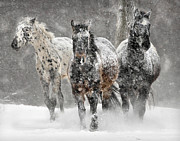 Appaloosa Framed Prints - Appaloosa Winter Framed Print by Wade Aiken