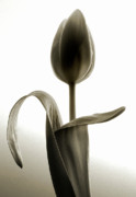 Floral Art Photos - Appealing Tulip by Terence Davis