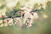 Apple Blossoms Prints - Apple blossom branch in early spring Print by Sandra Cunningham