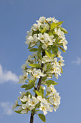 Apple Blossom Posters - Apple blossom in spring Poster by Matthias Hauser