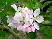 Apple Blossom Print by Joyce Woodhouse