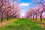 Fruit Tree Art Prints - Apple Blossom Orchard Print by Jeramie Curtice