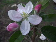 Rani De Leeuw - Apple Blossom