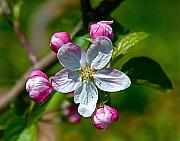 Flower Artwork Prints - Apple Blossom Print by Robert Pearson