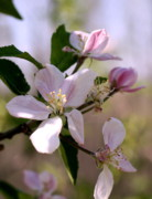 Diane Merkle Prints - Apple Blossom Time Print by Diane Merkle