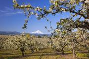Apple Orchards Posters - Apple Blossom Trees In Hood River Poster by Craig Tuttle