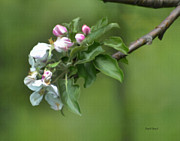 Tree Blossoms Paintings - Apple Blossoms by Diane E Berry