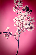 Cherry Blossoms Posters - Apple Blossoms Poster by HD Connelly