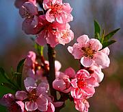 Pink Blossoms Mixed Media Posters - Apple blossoms Poster by Robert Pearson