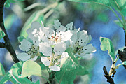 Apple Blossoms Prints - Apple Blossoms Print by Viaina