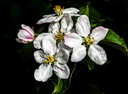 Flower Blooms Photos - Apple Bouquet by Robert Bales