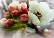 Crab Apple Tree Blossoms Prints - Apple Buds and Blooms Print by Cindy Wright