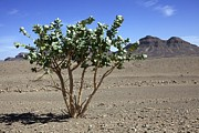 Moroccan Photos - Apple Of Sodom (calotropis Procera) Tree by Dirk Wiersma