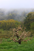 Apple Orchards Posters - Apple Orchard in Spring Rain Poster by John Burk