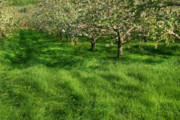 Farm. Field Prints - Apple orchard Print by Sandra Cunningham