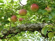 Apple Pickers Dream Print by Lynn-Marie Gildersleeve
