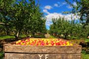 Apple Picking Season Print by Catherine Reusch  Daley