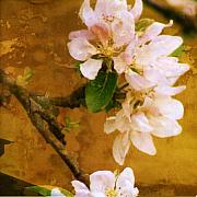Sonia Stewart - Apple tree blossom