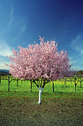 Napa Valley Photos - Apple Tree In A Field, Napa Valley, California, Usa by Medioimages/Photodisc