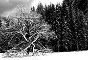 Fir Trees Photo Originals - Apple Tree in Snow by Doug Hubbard