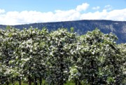 Apple Blossoms Prints - Apple Trees In Bloom     Print by Will Borden