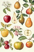 Spartan Framed Prints - Apples and Pears Framed Print by Elizabeth Rice