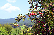 Susan Leggett Acrylic Prints - Apples on a Tree Acrylic Print by Susan Leggett