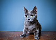 Blue Cat Posters - Apprehension Poster by Square Dog Photography