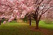 Cherry Blossoms Photo Prints - Approach Me - Holmdel Park Print by Angie McKenzie