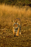 The Tiger Prints - Approaching Wild Tiger In Ranthambhore Print by Aditya Singh