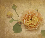 English Rose Posters - Apricot Bliss Poster by Diane Schuster