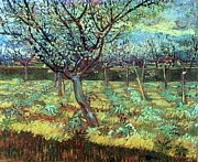 Apricots Art - Apricot Trees in Blossom by Pg Reproductions