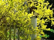 Forsythia Photos - April Gold by Joyce  Kimble Smith