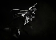 Goth Posters - Aquilegia Black and White Poster by Rebecca Sherman
