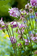 Aquilegia In Spring Flowers Print by Donald Davis
