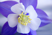 Julia Hiebaum Photo Prints - Aquilegia Print by Julia Hiebaum