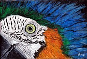 Exotic Drawings - Ara Parrot by Katerina A Cechova