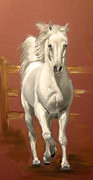 White Arab Pastels Prints - Arab Stallion Print by Margaret Alder