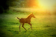 Foals Prints - Arabian Dreams Print by Emily Stauring